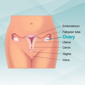 diagram of ovary