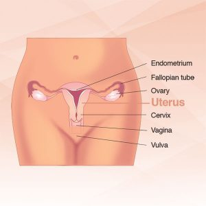 diagram of uterus